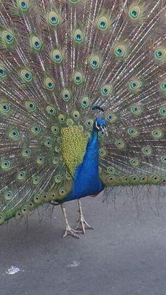 Peacock by Emma Calder