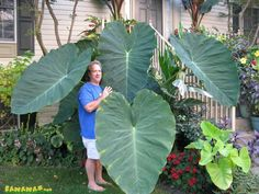 Buy 100 pcs Colocasia Plant Jacks Giant Elephant Ear Seeds Huge Foliage Gigantea at Wish - Shopping Made Fun Big Plants, Rare Plants, Tropical Plants, Tropical Garden, Elephant Ear Plant, Elephant Ears, Home Garden Plants, Shade Garden, Balcony Garden