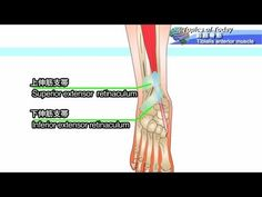 前脛骨筋 Tibialis anterior muscle:理学療法士による身体活動研究 - https://www.youtube.com/watch?v=iWqE83m4ELw
