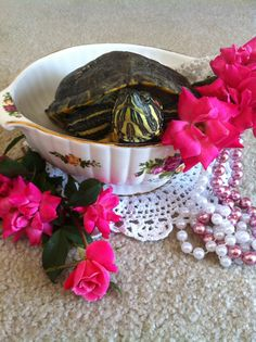 """Turtle Red Eared Slider """"Time for Tea! Yellow Bellied Slider, Red Eared Slider, Land Turtles, Tortoise Turtle, Turtle Love, Reptiles And Amphibians, Tortoises, Science Nature, Sliders"""