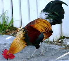 Key West rooster - you're bound to encounter quite a few of these throughout Key West, all around Duval, as they are free to roam around undisturbed - MReno
