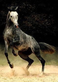 Cheval (LIBERTE)                                                       …