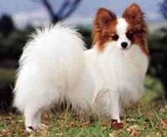 One of my favorite dog breeds, the Papillion.