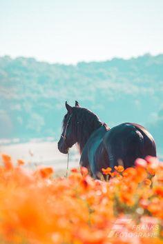 "drxgonfly: ""Estudioso (by Frank Wichert) "" Cute Horses, Pretty Horses, Horse Love, Most Beautiful Horses, Animals Beautiful, Cute Animals, Dressage Horses, Appaloosa Horses, Horse Photos"