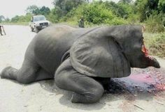 NEEDS TO STOP: Poached Elephant for it`s ivory.  Every 15 minutes an elephant is killed in Africa. At this rate a child born in 2015 will never have a chance to see an elephant in the wild. Africa will have lost one of its most emblematic animal.