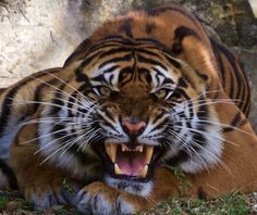 Sumatran Tiger, Zoo Miami Canon 70-200 f/4 Canon 60D