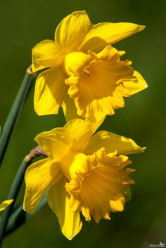 Daffodils -- SPRING IS COMING