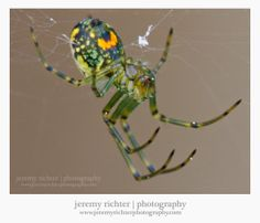 The Orchard Spider (Leucauge venusta), in the Orb Weaver family