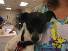 My name is 126453.  I am a neutered male, white and black Chihuahua - Smooth Coated mix.  The shelter staff think I am about 8 months old.   For more information about this animal, call: Riverside County Animal Control - Riverside Shelter at (951) 358-7387 Ask for information about animal ID number A1126453