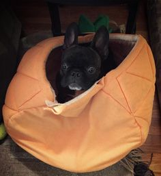 Who? Me? #iminnocent  #frenchiesoverload #cutenessoverload #cute #dogsandpals #animallovers #pineappleclub4eva #pineappleclubforlife #mannyandfriends #mannysbuddyoftheweek #bestwoof #dogsandpals #dogsofinstagram #topdogphoto #dogsbeingbasic #notguilty #mood #excellent_dogs #thefrenchiepost #weekly_feature #dailyfluff #lacyandpaws #dogsofinstaworld #featuremeinstagood #frenchiestagram #followforlike #theworldofbullies #ruffpost #animalsofinstagram #dogs_of_instagram #squishyfacecrew by…