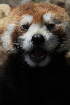 Red panda at Ikeda Zoo in Okayama Prefecture, Japan
