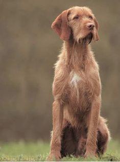Cute Puppies, Cute Dogs, Wirehaired Vizsla, Dog Breeds List, Weimaraner, Beautiful Dogs, Mans Best Friend, Puppy Love, Best Dogs