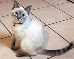 Year old Lynx Point Siamese Tap the link Now - Luxury Cat Gear - Treat Yourself and Your CAT! Stand Out in a Crowded World! Siamese Kittens, Kittens Cutest, Cats And Kittens, Cute Kitten Pics, Cute Cats, Pretty Cats, Beautiful Cats, I Love Cats, Crazy Cats