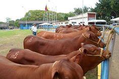 ¡Excelentes noticias desde Maturín! Buscan aumentar la producción de leche en un 20%. Leer más en: http://www.juancarloschouriomoreno.com.ve/post/144144925709/excelentes-noticias-desde-maturín-buscan  #juancarloschourio #juanchourio #ganaderia #agricultura #leche #instagram #latinoamerica #correodelorinoco #maturin #vacas #produccion #economía #caracas #venezuela