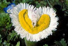 PAQUERETTE...fleur de paques