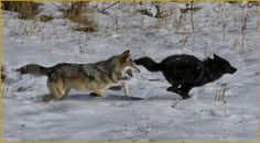 Wolf Project, Yellowstone Park Foundation