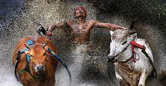 """fotógrafo Wei Seng Chen, da Malásia, foi premiado na categoria """"Esportes"""", no World Press Photo 2013. A imagem mostra homem segurando a cauda de dois touros ao final de uma corrida perigosa em um campo de arroz durante uma uma competição popular em Batu Sangkar, Sumatra Ocidental, na Indonésia, em 12 de fevereiro de 2012"""