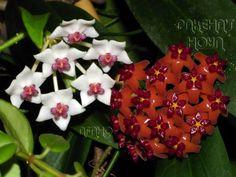 Hoya bella & Hoya bordenii