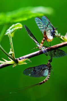 mayflies - awsome pic!  it's my honey's trademark :)