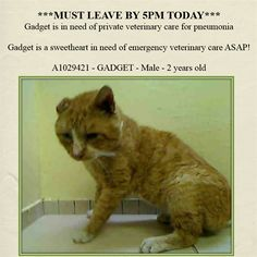 SUPER URGENT!!! ***MUST LEAVE BY 5PM TODAY***  3/5/15- Sweet Gadget is in need of private veterinary care for pneumonia!!  AC&C NYC - Manhattan Center.  Gadget is a sweetheart in need of emergency veterinary care ASAP! Gadet is possible suffering from possible pneumonia and is now having difficulty breathing.    GADGET - ID#A1029421  I am an unaltered male, orange tabby Dom Shorthair mix.  I am about 2. I weigh 8 pounds. I was found in NY 10454. I have been at the shelter since Mar 04, 2015.