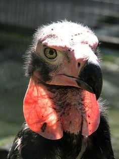 Red-headed Vulture   a.k.a.   Asian King Vulture   a.k.a.    Indian Black Vulture    a.k.a.    Pondicherry Vulture, Sarcogyps calvus  -   Berlin Zoo, Germany