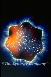 This Kirlian photograph shows a beautiful, mandala-shaped vibratory image that appears in certain plants when they are at their peak of flowering. Plants harvested too early or too late won't reveal this type of harmonic image. The potency and quality of a natural food product depend upon harvesting its ingredients at the optimal time.