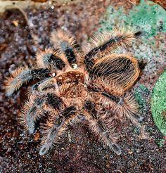 Pavouk tarantule - kudrnaté vlasy s kapkami vody, původem z tropických deštných pralesů — Stock obrázek #27777493
