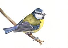 Blue Tit watercolour painting 5 by 7 size print door LouiseDeMasi