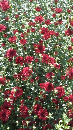 Piante rampicanti da balcone - Fiori rossi per la pianta rampicante ...