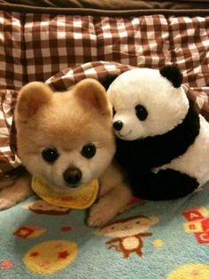 Teddy bear dog!