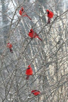 Indiana state bird the cardinal in winter time. Brown County, Indiana
