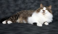 Cats with mustaches. My cat, Mr Bear, a retired (champion) Siberian show cat. What a stud. :)