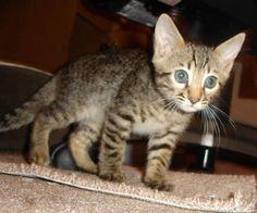 Baby bengal Kwee on the prowl.... #kitten #bengal