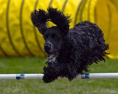 simply-canine: English Cocker Spaniel (by SARhounds) Black Cocker Spaniel, American Cocker Spaniel, Cocker Spaniel Puppies, English Cocker Spaniel, Funny Dogs, Funny Animals, Cute Animals, A Dog's Tale, Spaniel Breeds