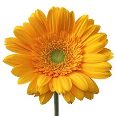 Think bold with the Unique Orange Gerbera Daisy Flower. The pale sunny orange bloom has long, perfect petals. Water Flowers, Bunch Of Flowers, Types Of Flowers, Yellow Flowers, Bridal Bouquet Fall, Fall Wedding Flowers, Fall Flowers, Happy Lights, Gerbera Flower