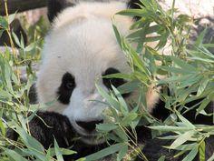 Toronto Panda hiding behind bamboo