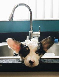Post with 70 views. Walter's First Bath Corgi Funny, Cute Corgi, Best Dog Breeds, Best Dogs, I Love Dogs, Puppy Love, Corgi Pictures, Cardigan Welsh Corgi, Pembroke Welsh Corgi