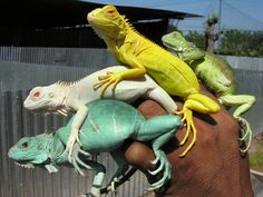 Two normal iguana and two albino. The two in the middle are albino although one is not white. How can that be? The yellow iguana's pigment is not from melanin. Melanin is only one pigment found in reptiles, birds, crustaceans, and some other animals (not mammals). For example, a flamingo's pink comes from caroteniods it comsumes. Without them the feathers revert back to white.