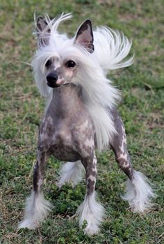 Beautiful Chinese Crested