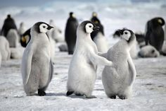 Hey baby, mind if I cut in ?    Emperor Penguin chicks