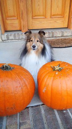 Sheltie with pumpkins