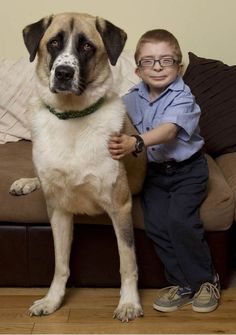 3 legged Anatolian Shepherd Dog called Haatchi is famous for the bond he shares with Owen Howkins - the remarkable pair have won several awards.