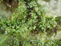 Muurvaren of Asplenium ruta-muraria