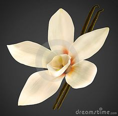 Vanilla bean plant, it's an orchid, thinking about growing one here . Unusual Flowers, Love Flowers, My Flower, Vanilla Sky, Vanilla Orchid, Flor Tattoo, Bean Plant, Botanical Tattoo, White Orchids