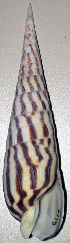 Terebra strigata (zebra auger snail) | by James St. John