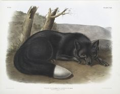 Vulpes fulvus, American Black, or Silver Fox. 1845 - 1848. From New York Public Library Digital Collections.