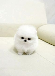 White cute fluffy puppy