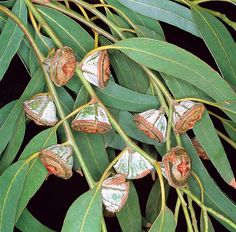 Known as the Tasmanian bluegum or Southern blue gum, it is one of the most widely cultivated trees native to Australia. Cactus Seeds, Tree Seeds, Protea Art, Native Australians, Australian Plants, Beautiful Flowers Garden, Bonsai Garden, Herbs, Naturaleza