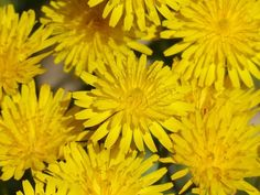 If you are studying herbal magic, or any form of Witchcraft that involves herbs, then you should not overlook dandelions. These plants are so unfairly underrated. Here are details about its many medicinal, magical, and folk uses as well as how to grow it. Dandelion Uses, Herbal Magic, Wicca Witchcraft, Herbalism, Herbs, Plants, Garden, Knowledge, Garten
