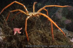 A giant sea spider in shallow water off Rothera Research Station.